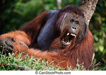 Yawning Orangutan - Indonesia, Borneo - Yawning Orangutan...