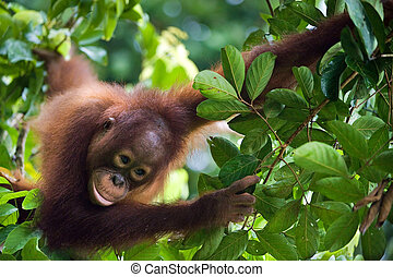 Little Orangutan on the tree - Indonesia, Borneo - Young...