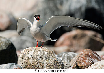 Common Tern - The Common Tern (Sterna hirundo) is a seabird...