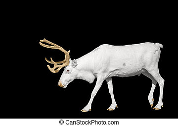 rare white deer with golden horns isolated on black - rare...