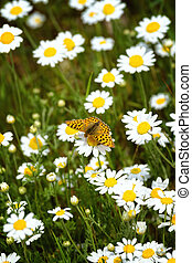 White and yellow daisies with Silver-washed Fritillary...
