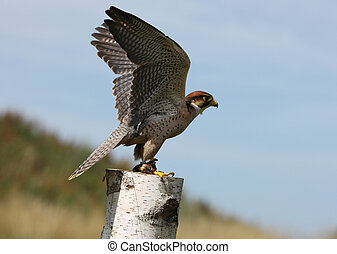 Peregrine Falcon - A Peregrine Falcon taking off