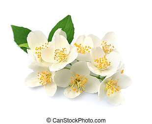 White flowers of jasmine on the white backgrounds.