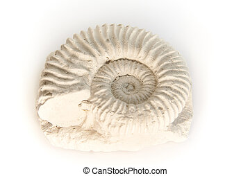Ammonite, -, parawedekindia