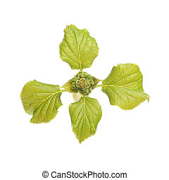 Spring hydrangea leaves and developing flower buds