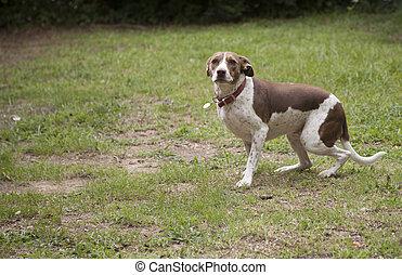 Bird Dog Outdoors - Bird dog outdoors, looking toward the...