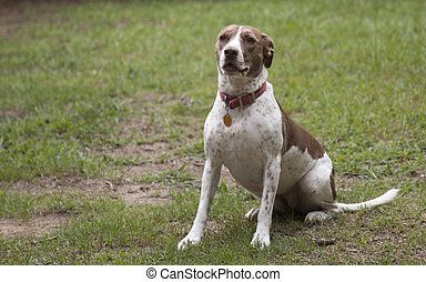 Bird Dog Outdoors - Bird dog sitting outside in the grass