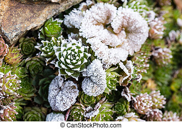 Frozen houseleek sempervivum on stone with other plants -...
