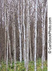 Neatly lined with Betula ermanii forest