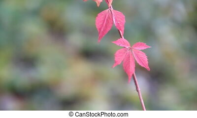 Nature background with red leaves. - beautiful leaves in the...