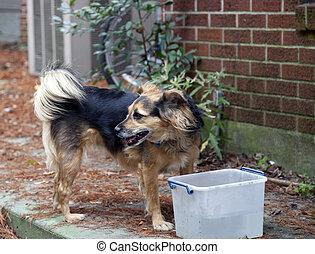 Dog at a Water Bucket - Medium-size dog at a water bucket
