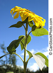 Sunflower, Helianthus annuus - Beautiful yellow Sunflower...