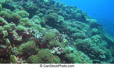 Soft and hard corals - Coral reef with soft and hard corals