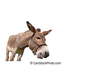 Curious donkey isolated on white - Close-up of donkey...