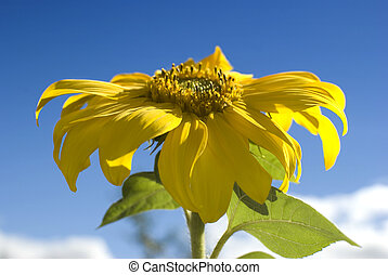 Sunflower petals closeup. Helianthus annuus - Beautiful...