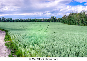Field of oats crop framed with tree lines and a road and...