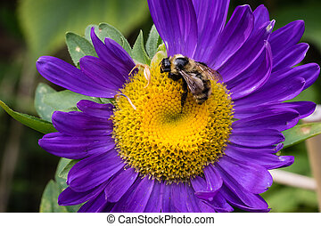 Bee on Aster flower - Purple Aster flower and pollinated bee