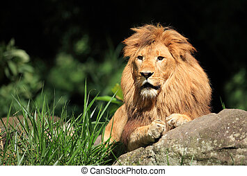 Male Lion in the wild - The king of the beast observing by...