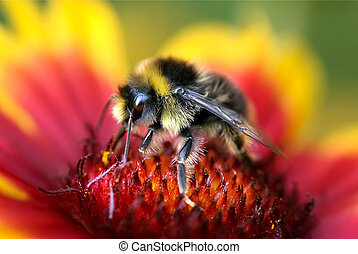 Bumble Bee on Gaillardia - Close-up of Bumble Bee on Red and...