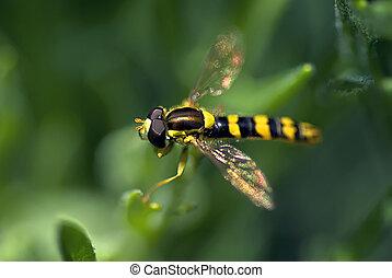 Hover Fly - Hover fly landed on Green Leaf