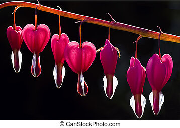 Dicentra Bleeding Heart - Close-up of Backlit Bleeding Heart...