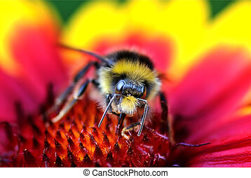 Close-up of Bumble Bee on Red and Yellow Flower