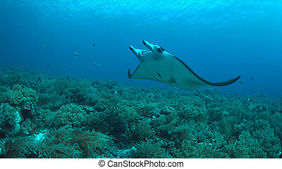 Manta ray on a coral reef - Manta ray swims on a coral reef.
