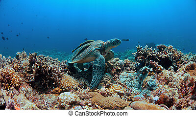 Green Sea turtle on a Coral reef - Green Sea turtle with two...