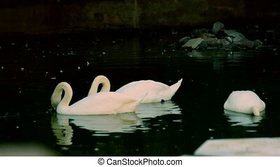 Swans in lake