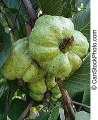 fruta, Fama, Guayabas
