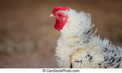 Rooster - Handsome rooster sitting in a hen house The...