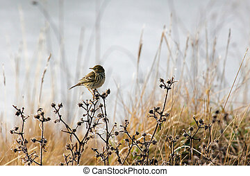 Alert Meadow Pipit on a Frosty Day