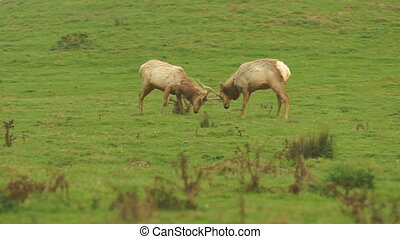 Young Male Elk Battle For Territory Pacific California Coast...