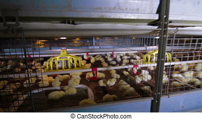 Chicken Farm poultry production - Chickens in cages poultry...