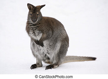 Kangaroo - Picture of a kangaroo in the snow in winter