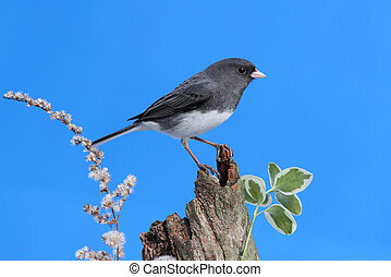 Junco On A Stump