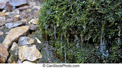 Clear water drops dripping on the green moss