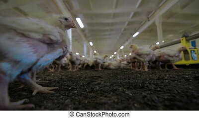 Chicken Farm poultry production - POV Chicken Farm and...