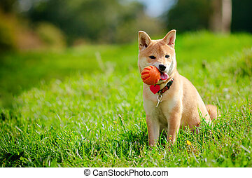 A young shiba inu playing with a ball in green garden