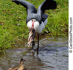 Marabou - Picture of a Marabou Bird trying to scare a duck