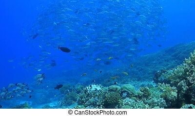 Coral reef with a school of Jacks