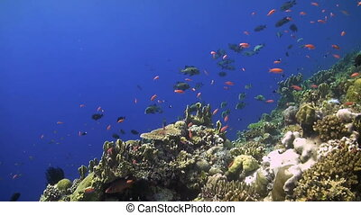Colorful coral reef with plenty fish - Colorful Coral reef...