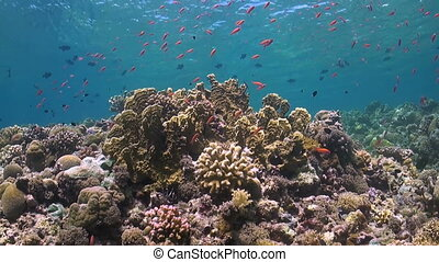 Colorful coral reef in Philippines with Anthias and...