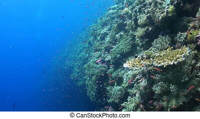 Colorful coral reef in Philippines - Edge of a colorful...