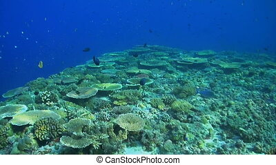 Colorful coral reef in Philippines with healthy hard corals....