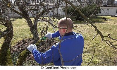 Skilled gardener trimming the branches of apple tree in...