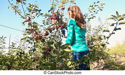 woman picks apples in the garden