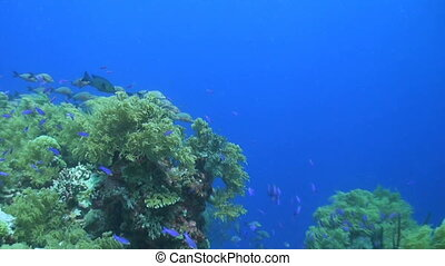 Coral reef with snapper - Coral reef with a school humpback...