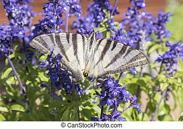 Butterfly pollinating flowers of a sage plant