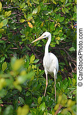 White Heron at the mangrove forest. Animals in the wild